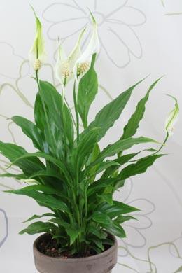 Spathiphyllum wallisii (Einblatt)