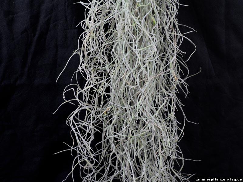 Tillandsia usneoides