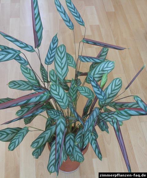 Ctenanthe Blätter