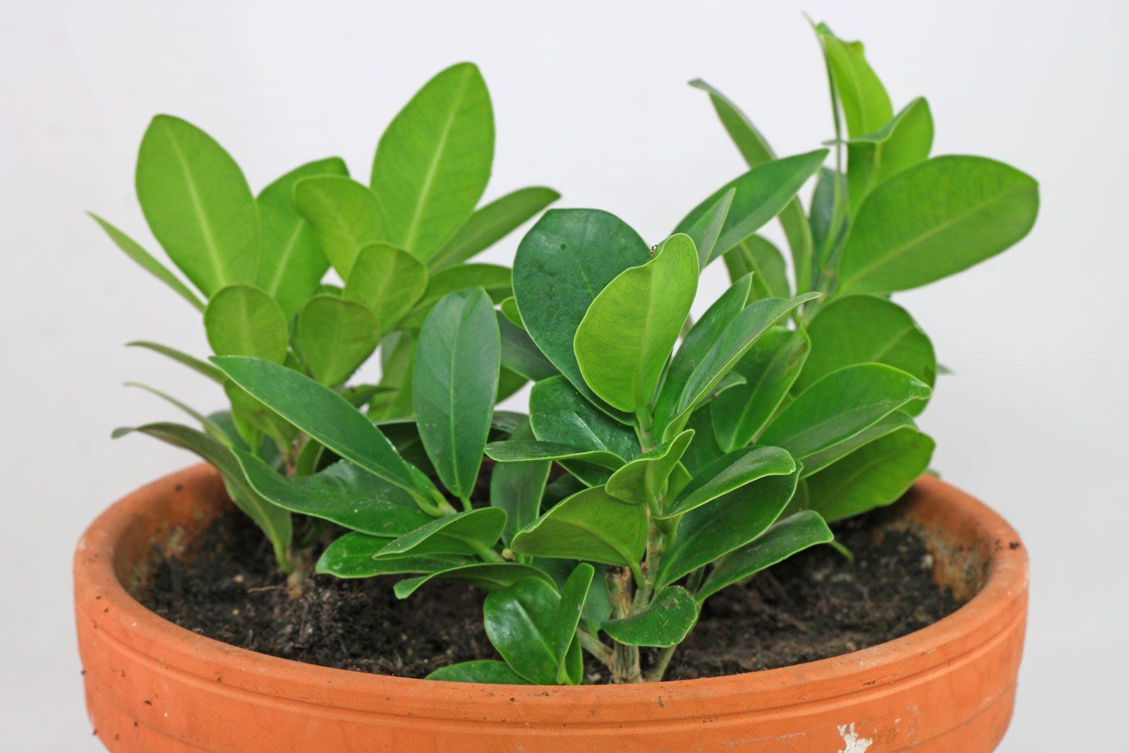 Ficus Ginseng Stecklinge