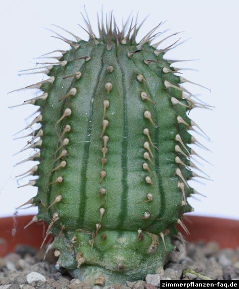 Hoodia gordonii
