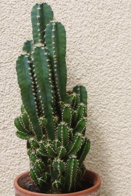 Cereus repandus