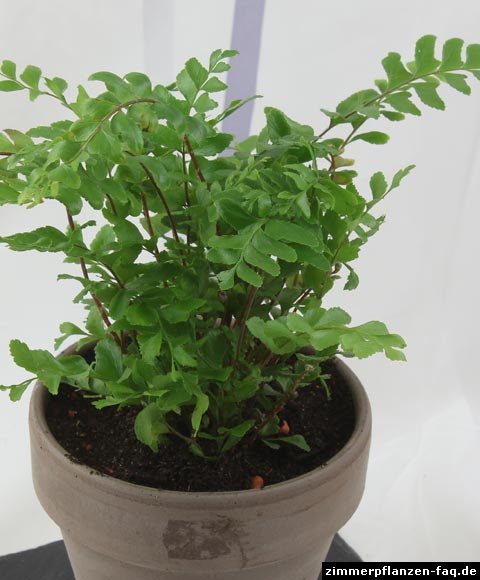 Mahogany Maidenhair