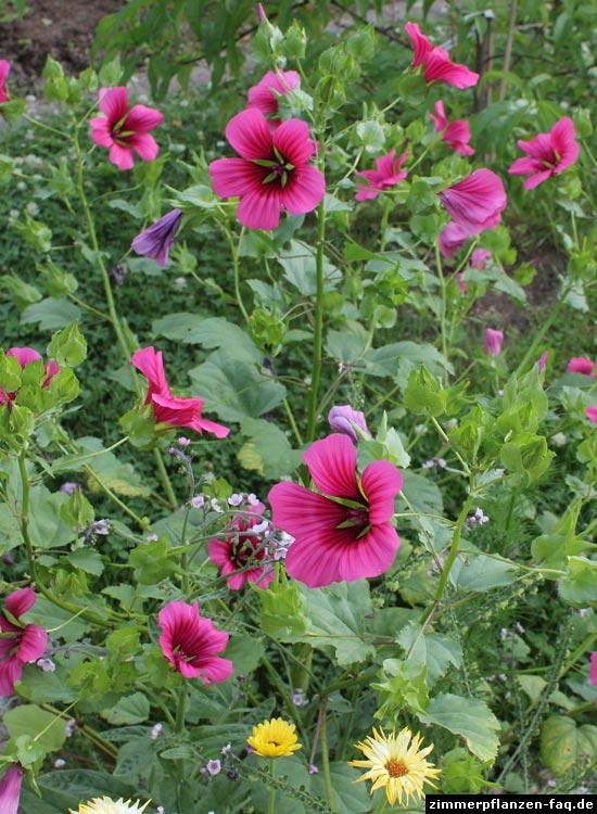 zimmer hibiskus hibiscus rosa sinensis. Black Bedroom Furniture Sets. Home Design Ideas