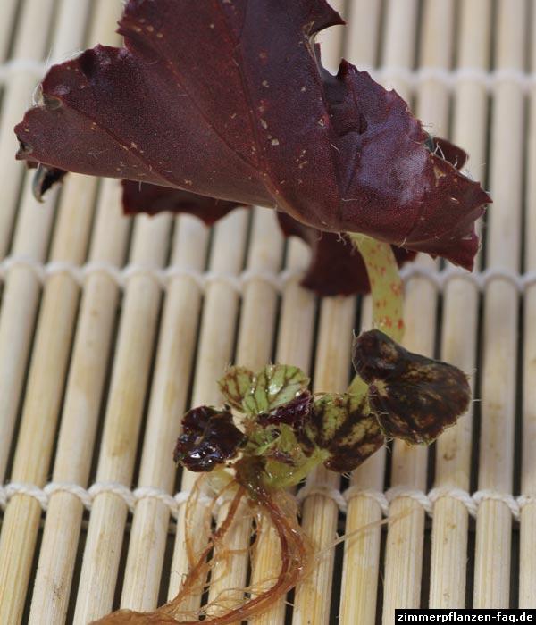 Begonia rex Steckling