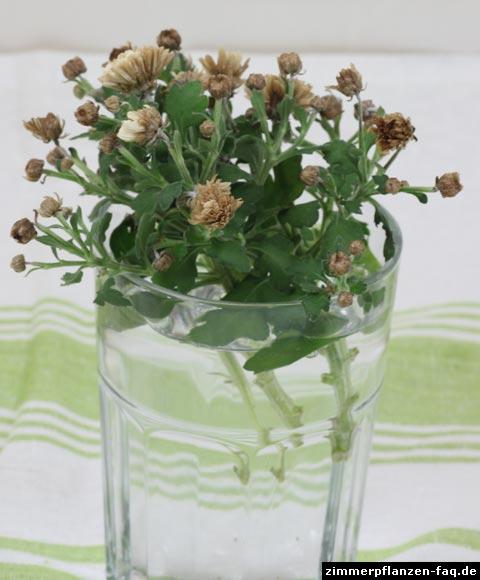 Chrysantheme Stecklinge