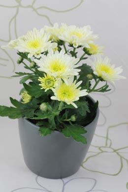Chrysanthemum-Hybride