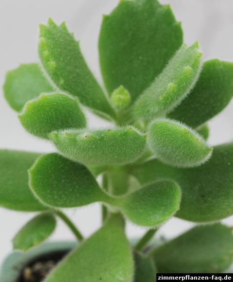 Cotyledon Blätter