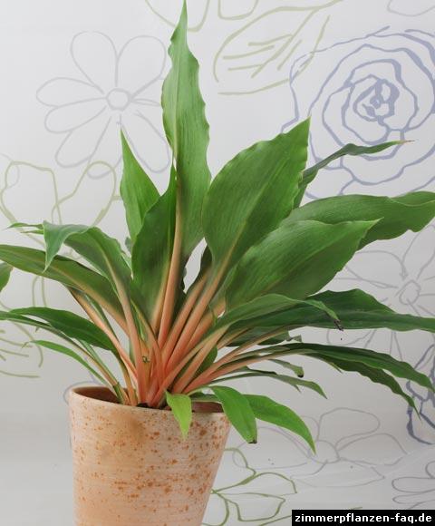 gr nlilie chlorophytum orchidastrum. Black Bedroom Furniture Sets. Home Design Ideas