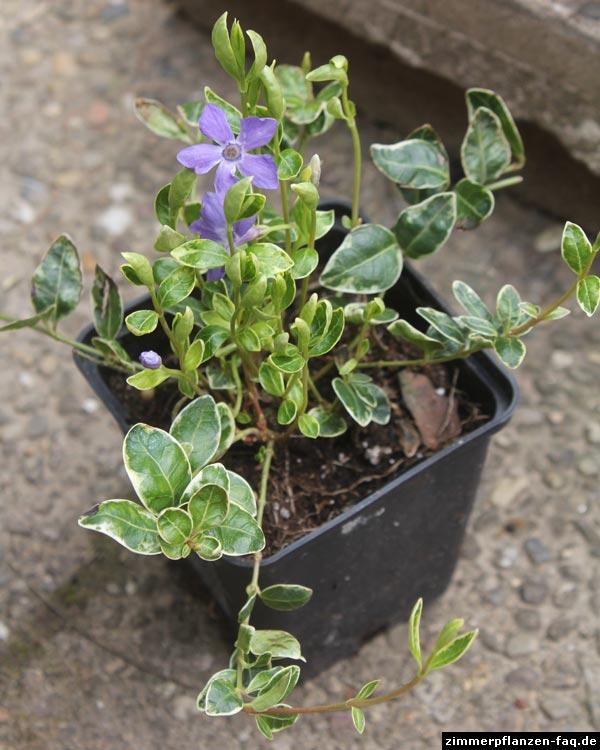 catharanthe catharanthus roseus. Black Bedroom Furniture Sets. Home Design Ideas