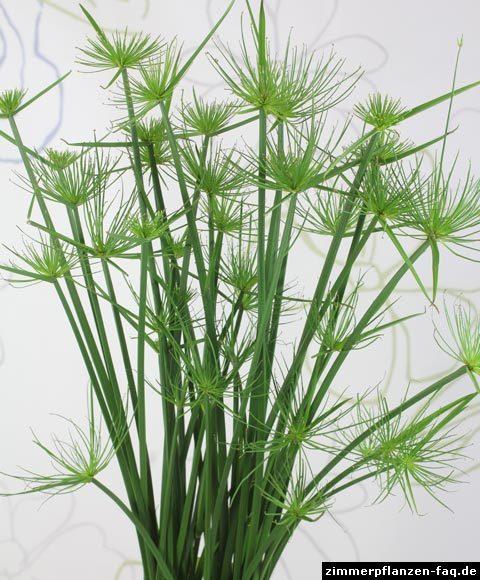 Zypergras zwergpapyrus cyperus haspan - Zimmerpflanze sonnig ...