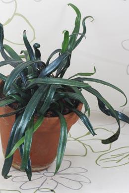 Halbschattig zimmerpflanzen pflege - Epiphyten zimmerpflanze ...