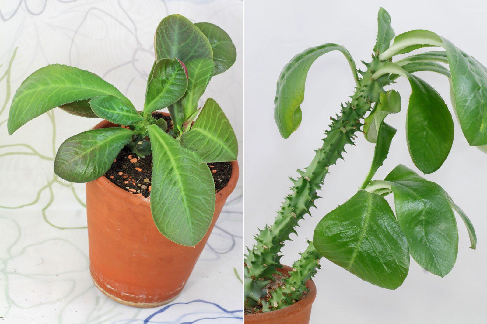 Euphorbia magnifica