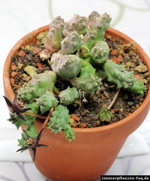 Duvalia pubescens