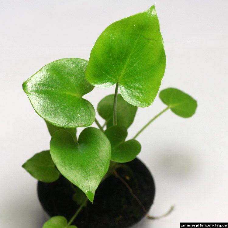 "Philodendron bipinnatifidum ""atom"""