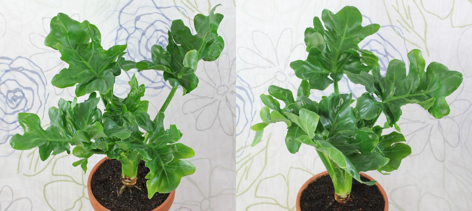 Philodendron bipinnatifidum Atom