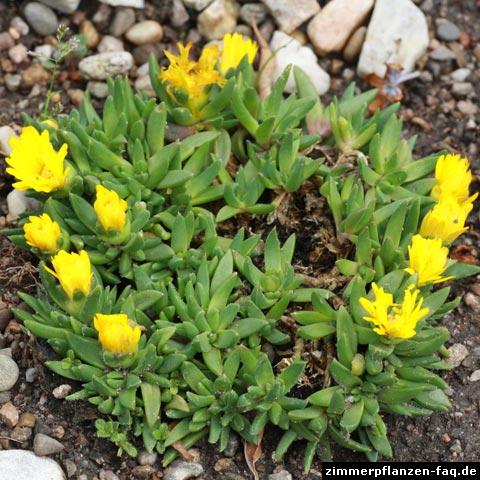Bergeranthus sp.