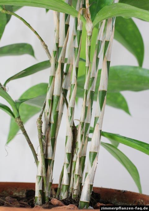 Drachenbaum dracaena surculosa - Bambus pflege zimmerpflanze ...