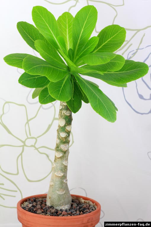 hawaii palme brighamia insignis. Black Bedroom Furniture Sets. Home Design Ideas