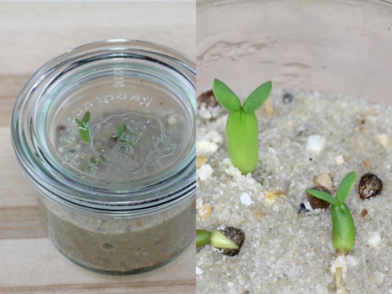 Euphorbia meloformis Samen