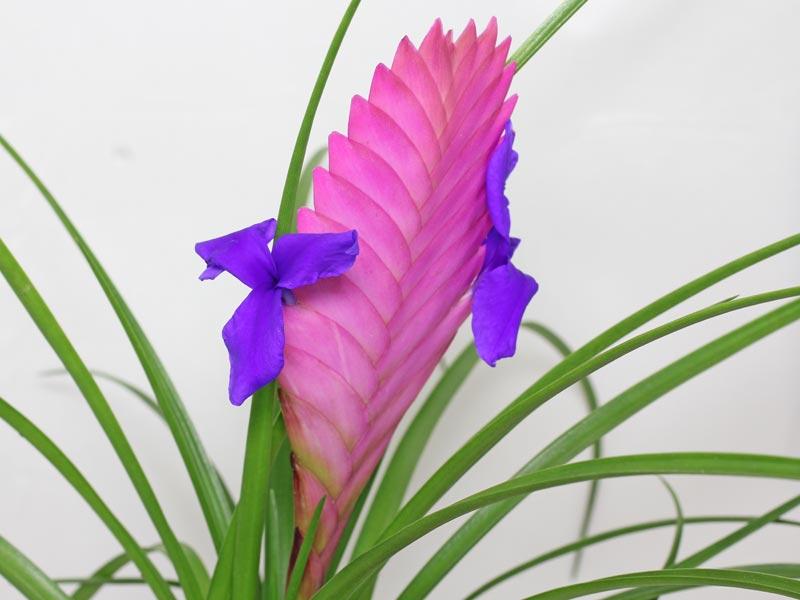 Tillandsie Blüten
