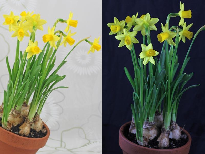 """Narcissus """"Tête � Tête"""" dürfte die populärste Topfnarzisse sein. Sie ist winterhart und eignet sich auch für den Garten."""