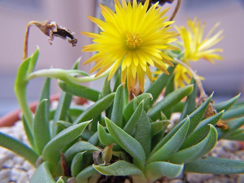 Bergeranthus katbergensis