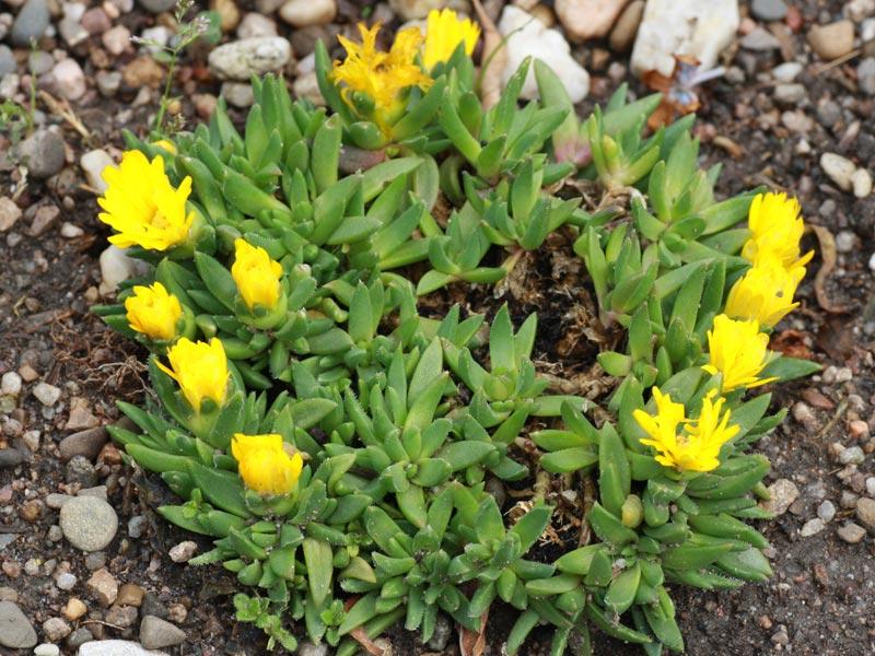 Unbekannte Bergeranthus-Art aus dem Baumarkt.