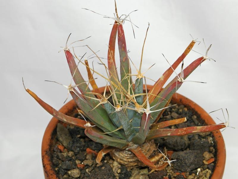 Prisma-Kaktus