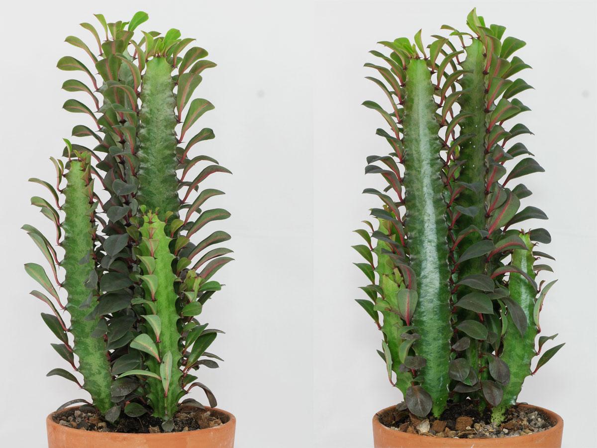Dreikantige Wolfsmilch (Euphorbia trigona)