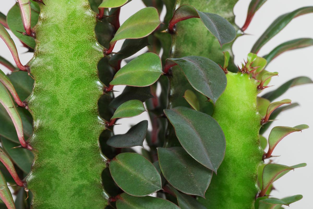 Etwas Neues genug Dreikantige Wolfsmilch (Euphorbia trigona) #ZS_13