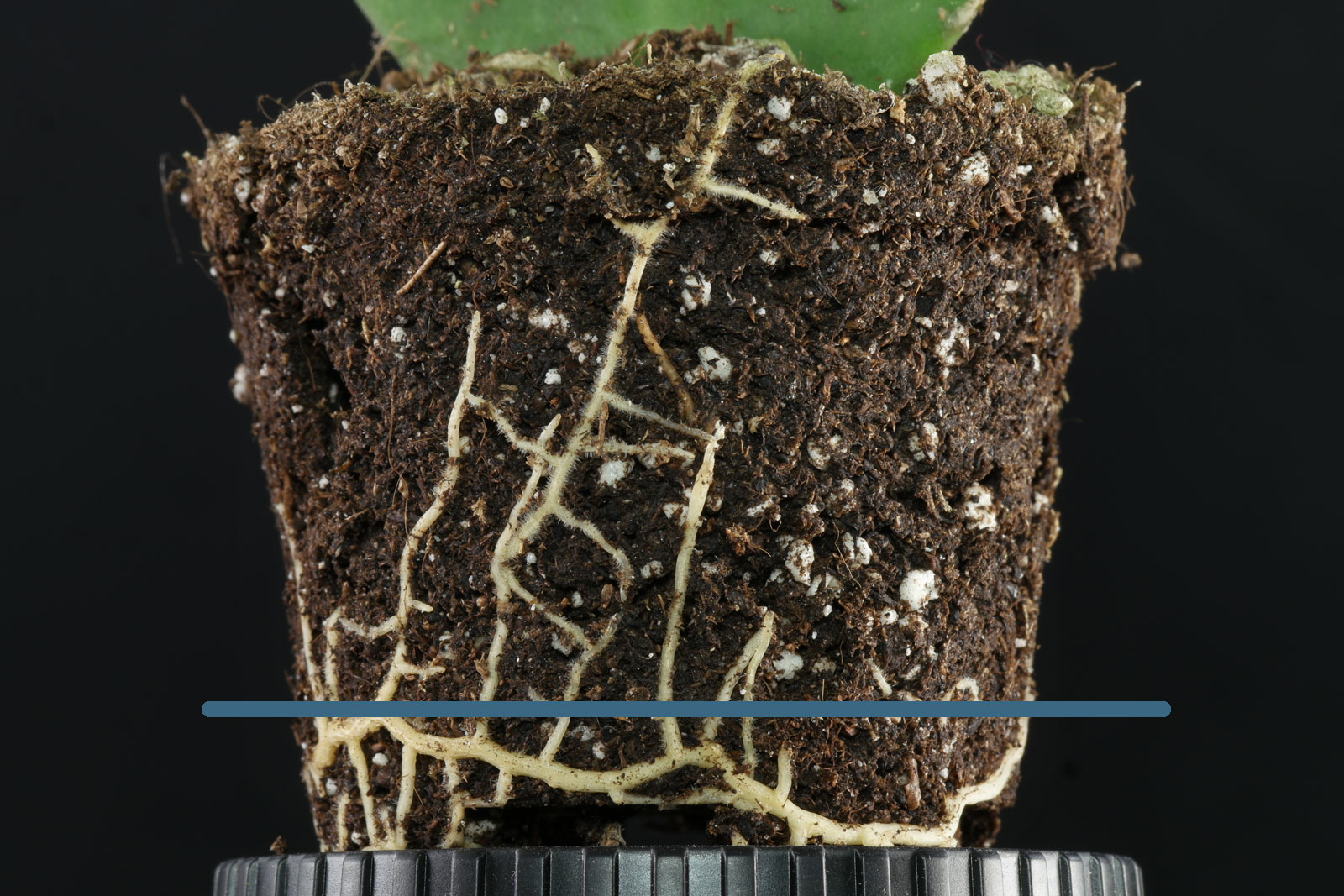 Herzblatt-Pflanze-Wurzeln