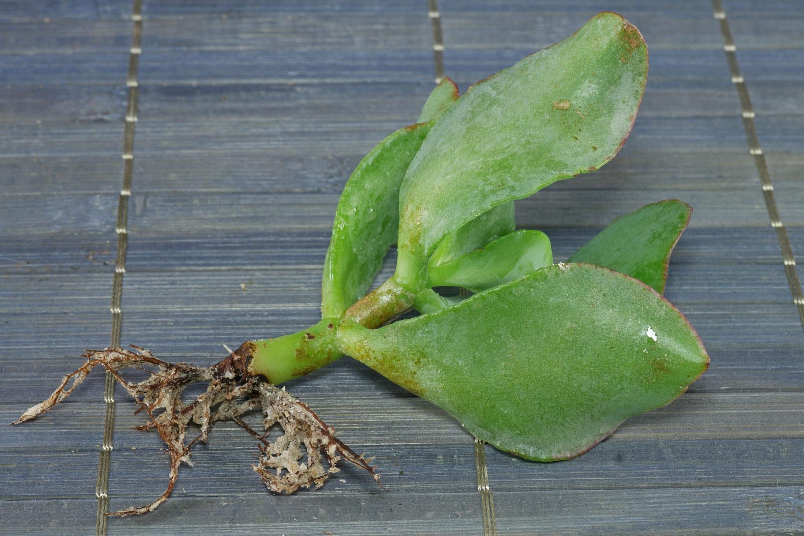 Pfennigbaum Steckling