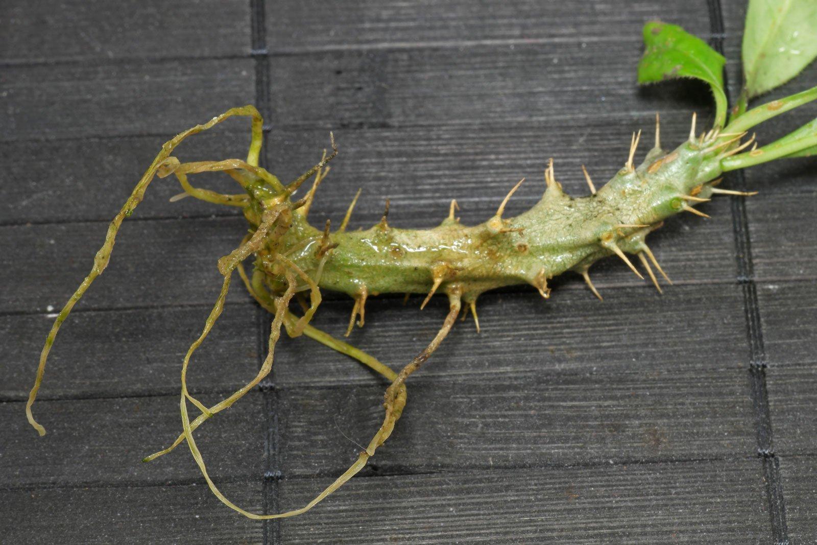 Pachypodium saundersii Steckling