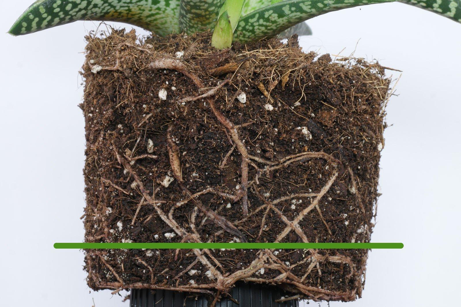 Aloe variegata Wurzeln