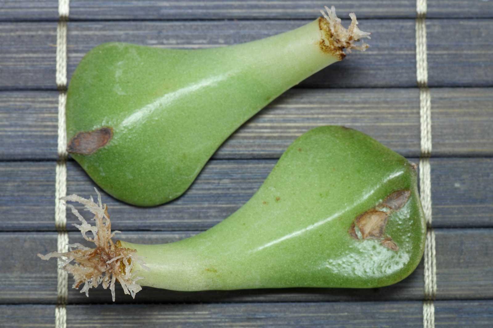 Graptopetalum bellum Blattstecklinge