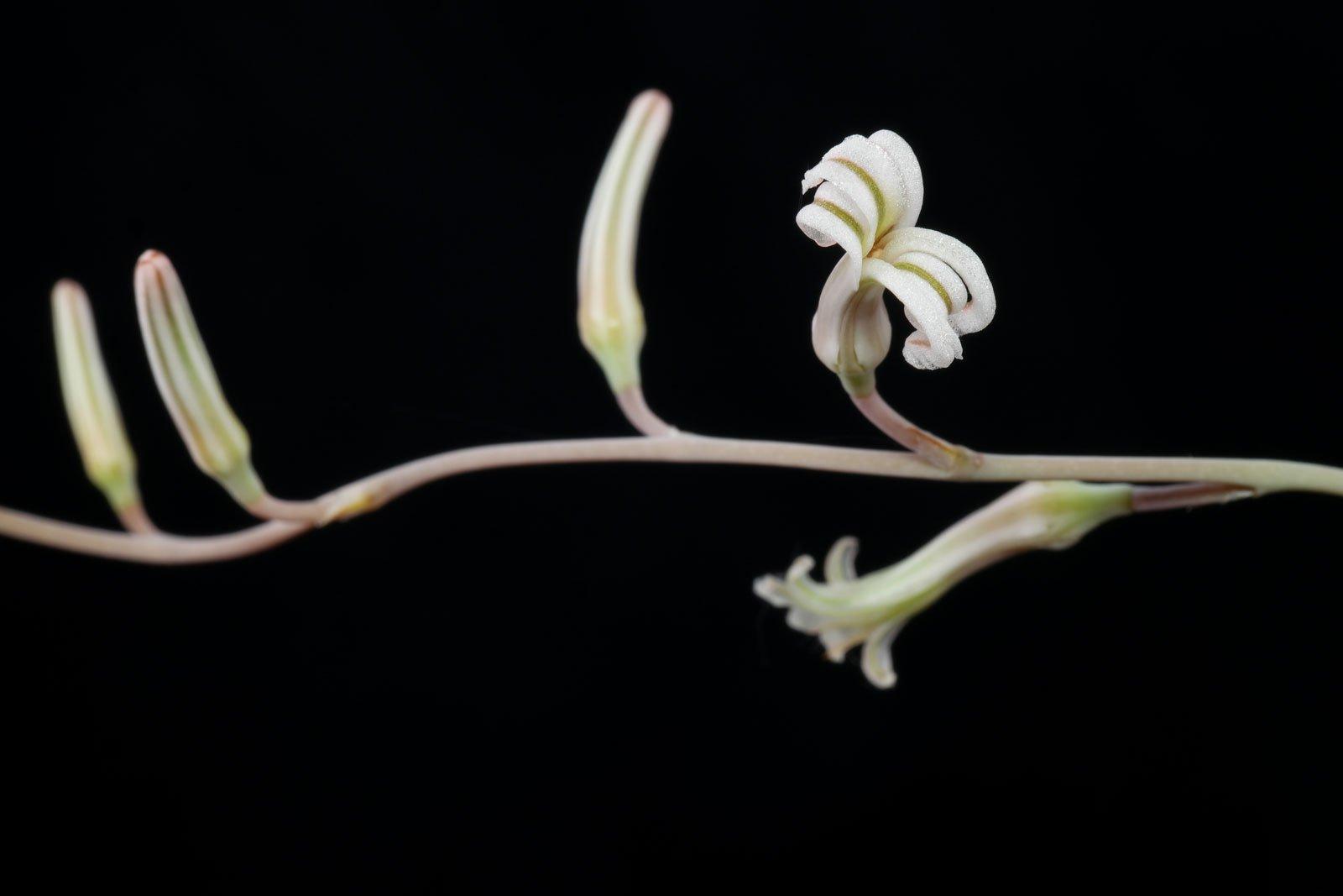 Haworthia cooperi Blüten