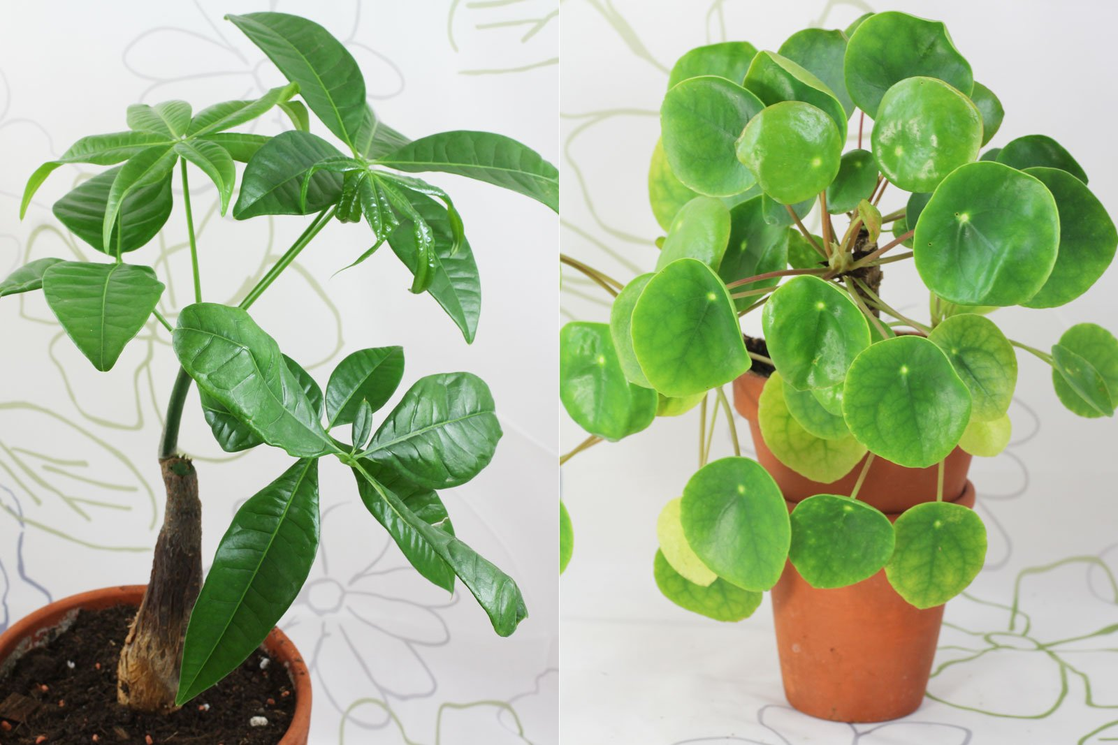 Pachira und Ufopflanze