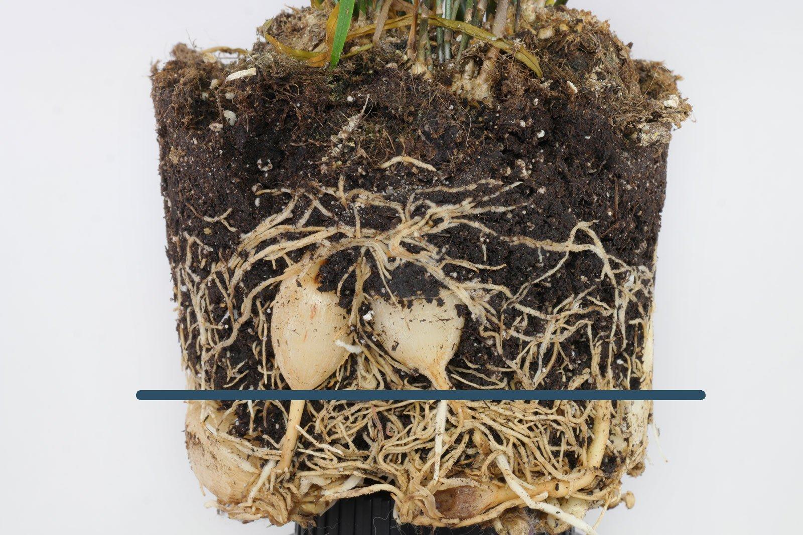 Asparagus falcatus Wurzeln