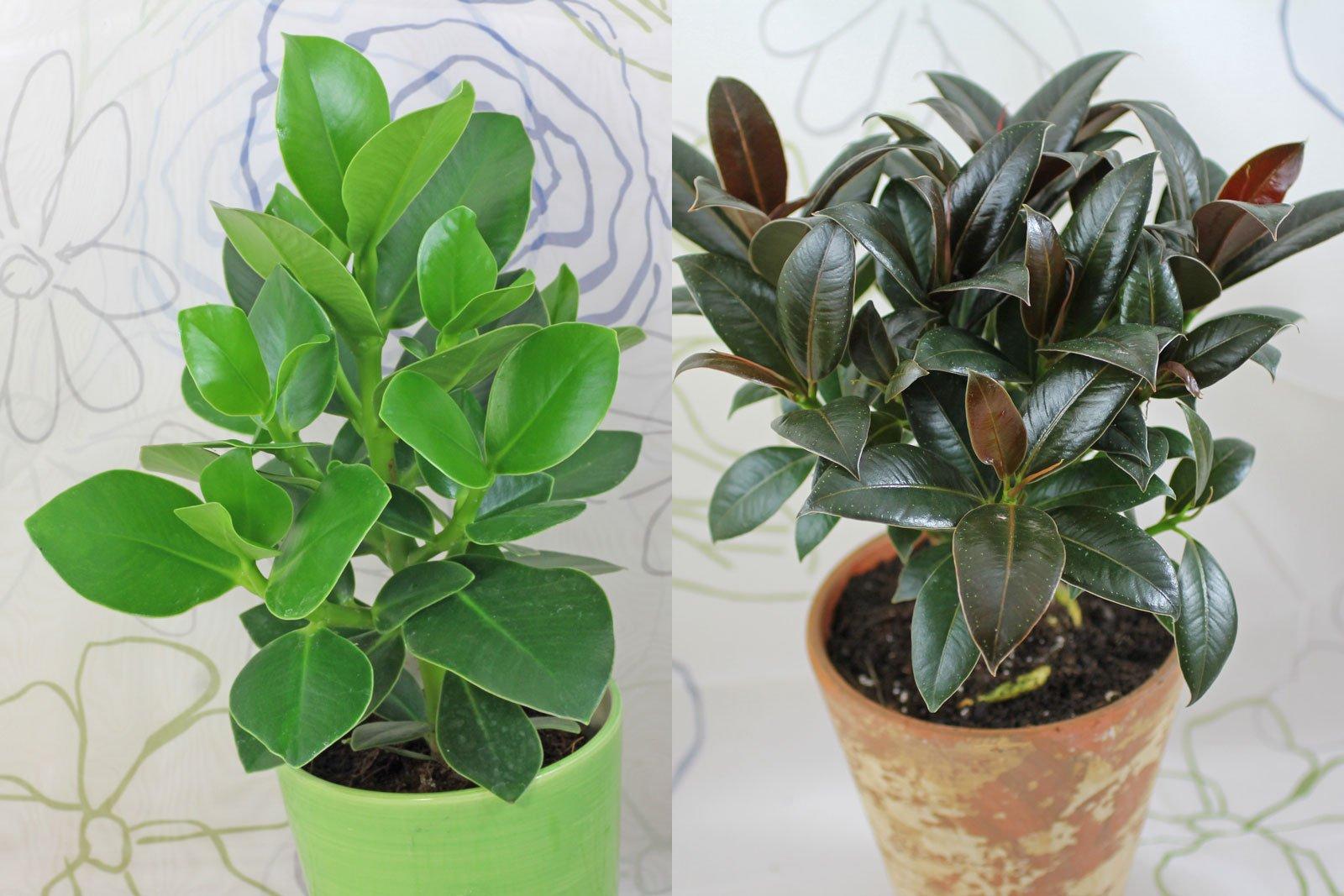 Clusia und Ficus