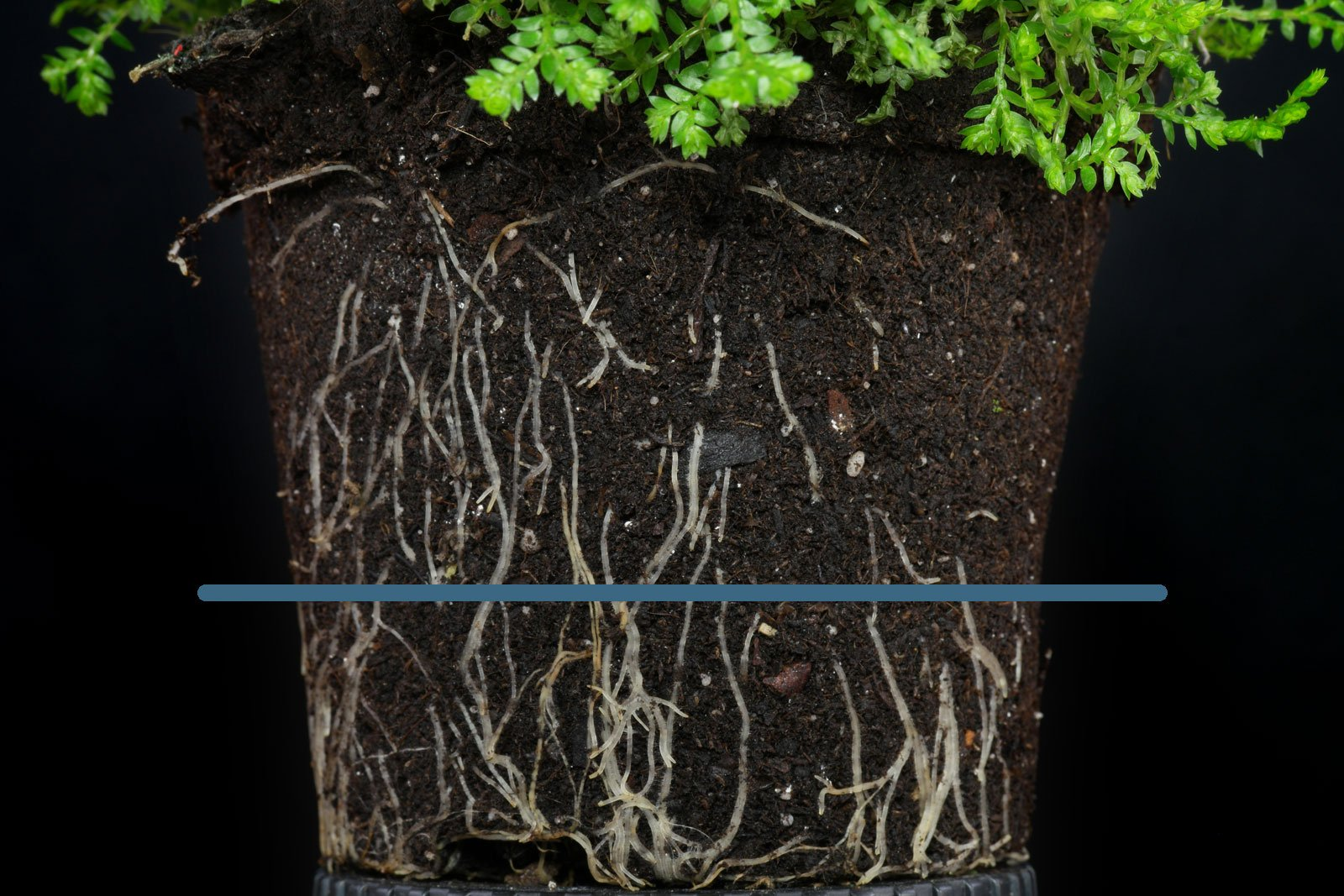 Selaginella apoda Wurzeln