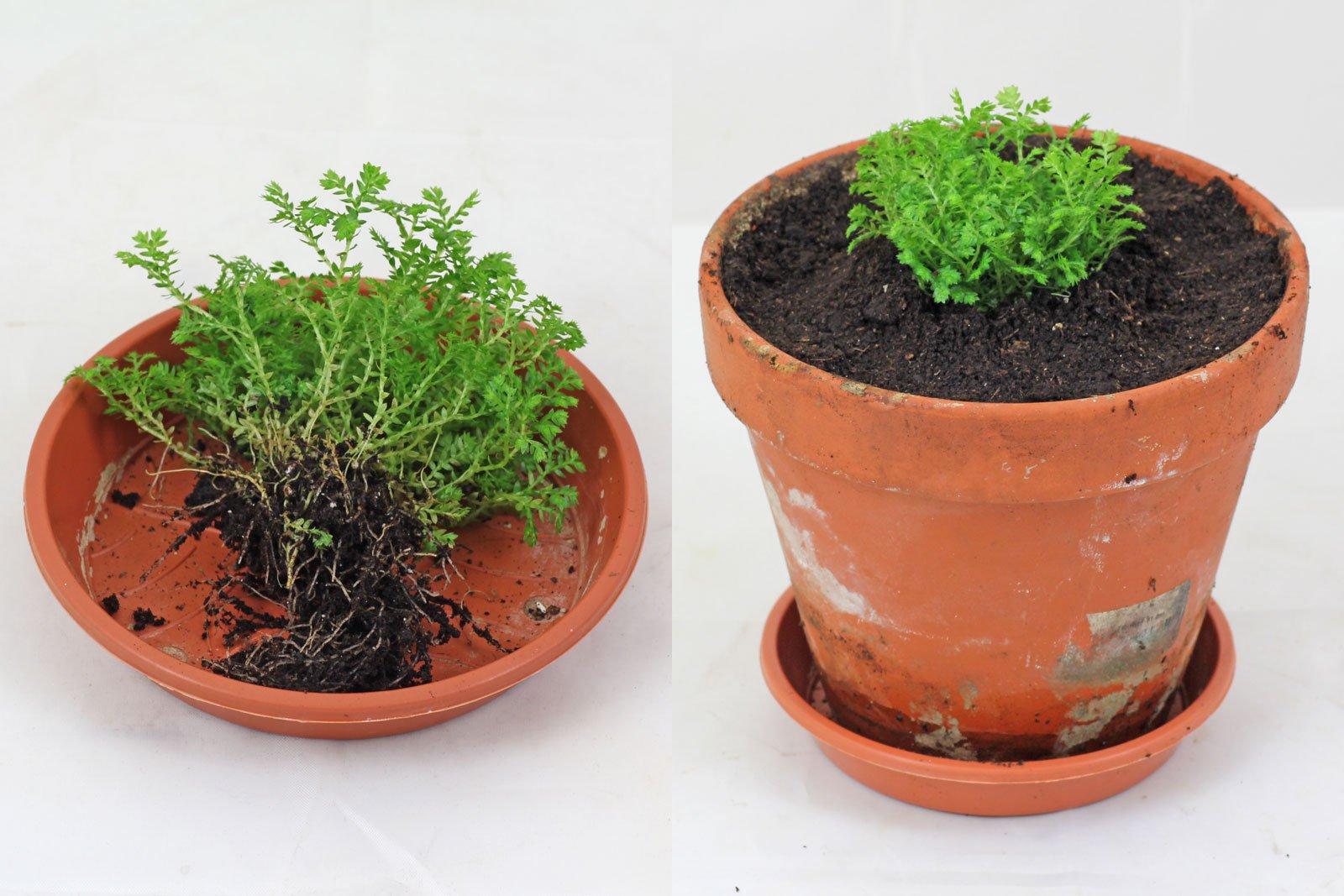 Selaginella apoda vermehren