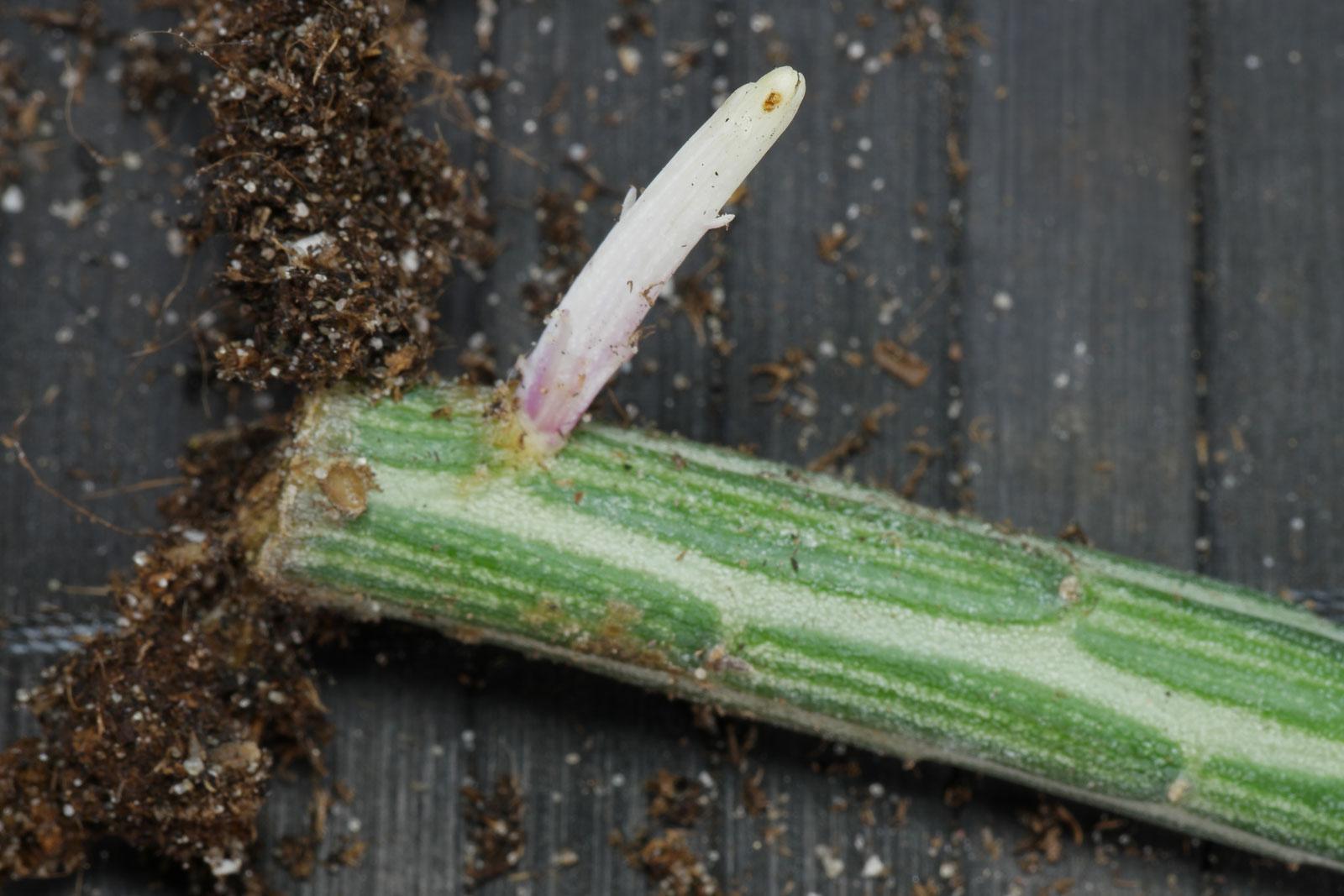 Kleinia stapeliiformis Ausläufer