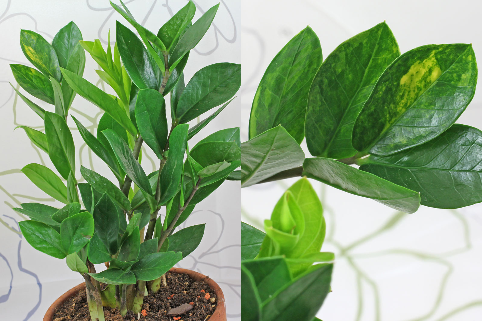 Zamioculcas zamiifolia panaschiert