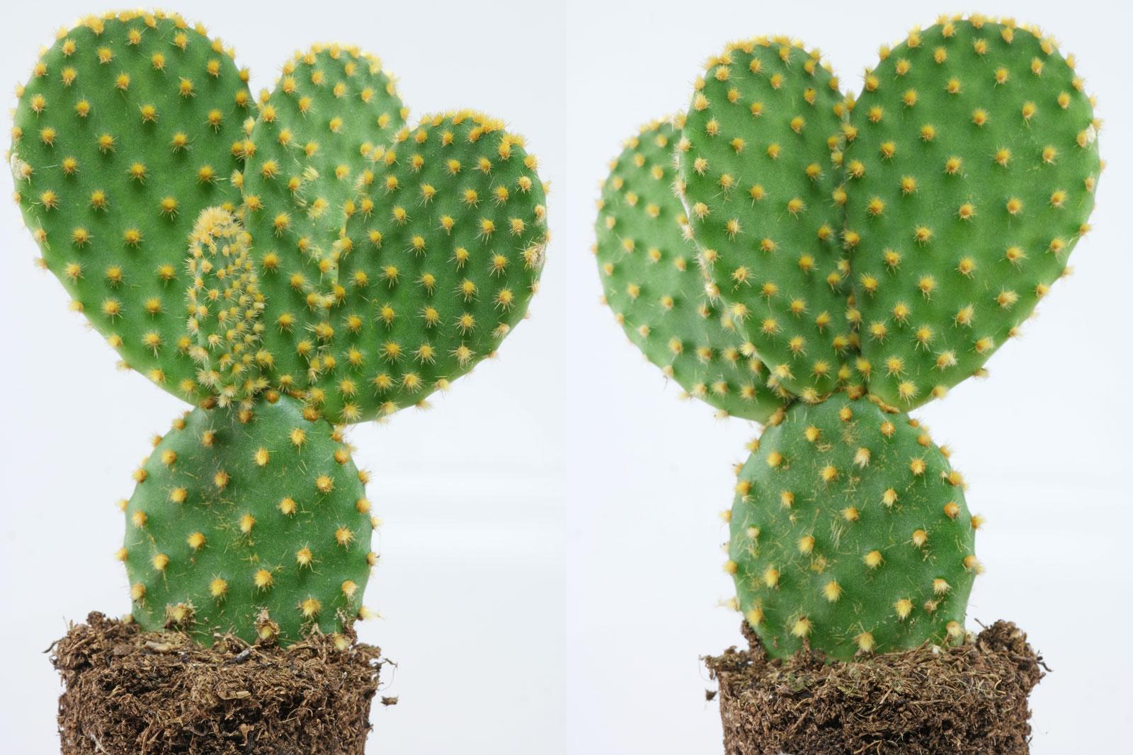 Hasenohr-Kaktus