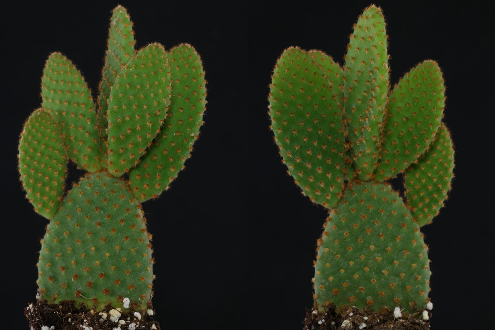 Opuntia microdasys Rufida