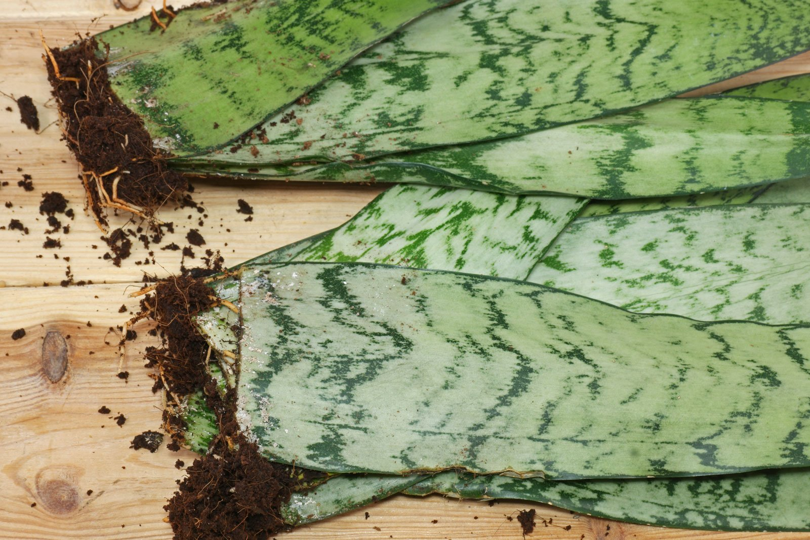 Sansevieria sp. Zeylanica Blattstecklinge