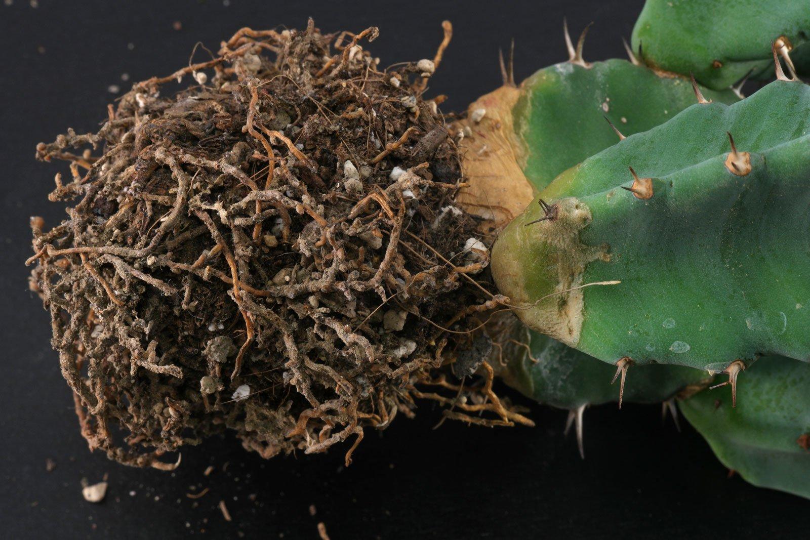 Euphorbia resinifera Wurzeln