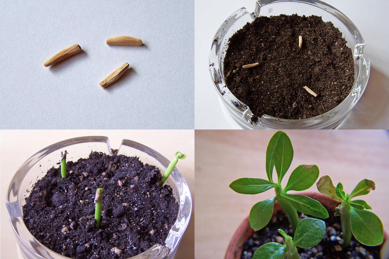 Adenium vermehren