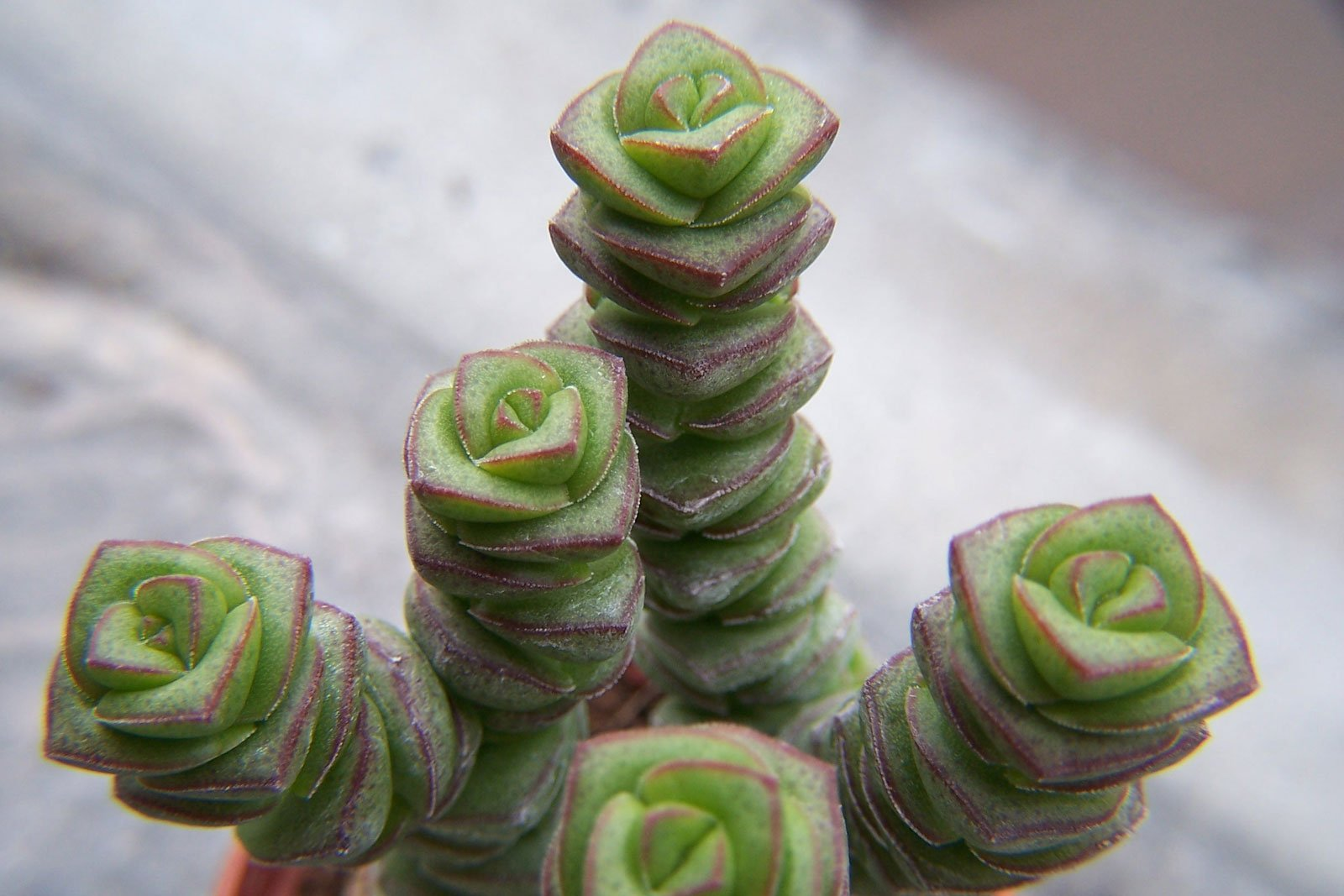 Crassula Baby Necklace